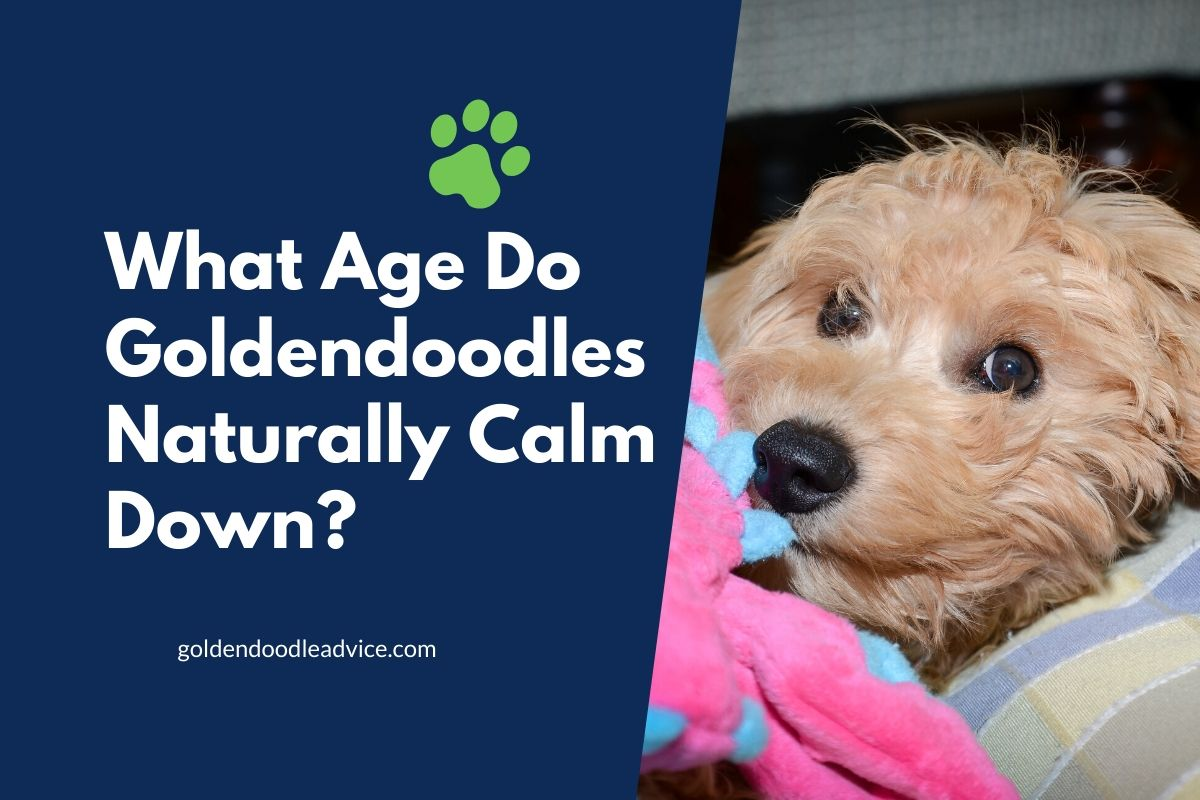 What Age Do Goldendoodles Naturally Calm Down_ #dogs, #puppies, #doodles