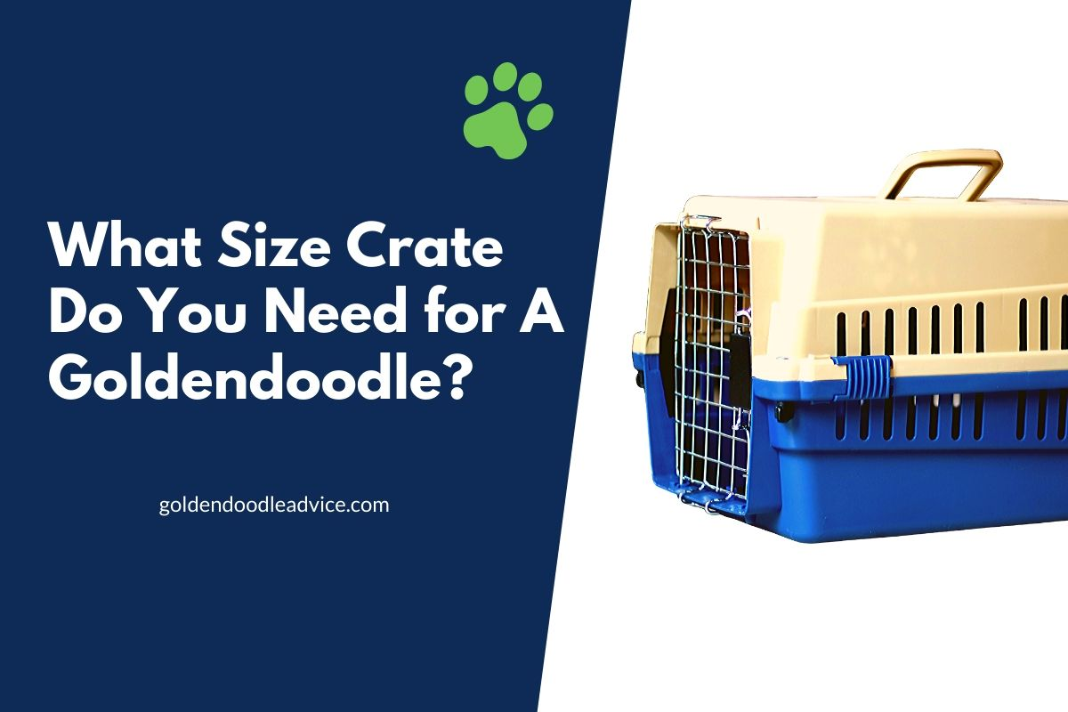 What Size Crate Do You Need for a Goldendoodle? #dogs