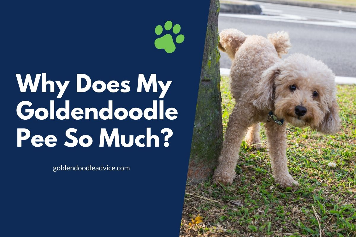Why Does My Goldendoodle Pee So Much?