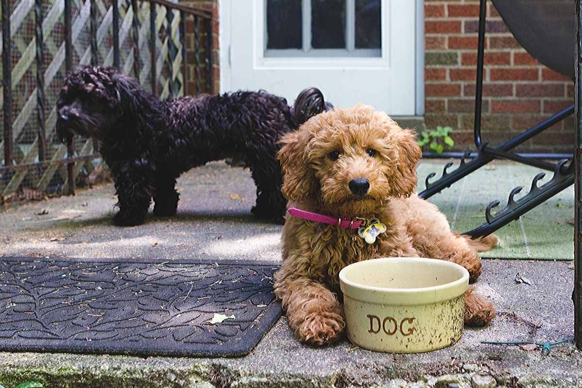What Is A Double Doodle Dog Breed?