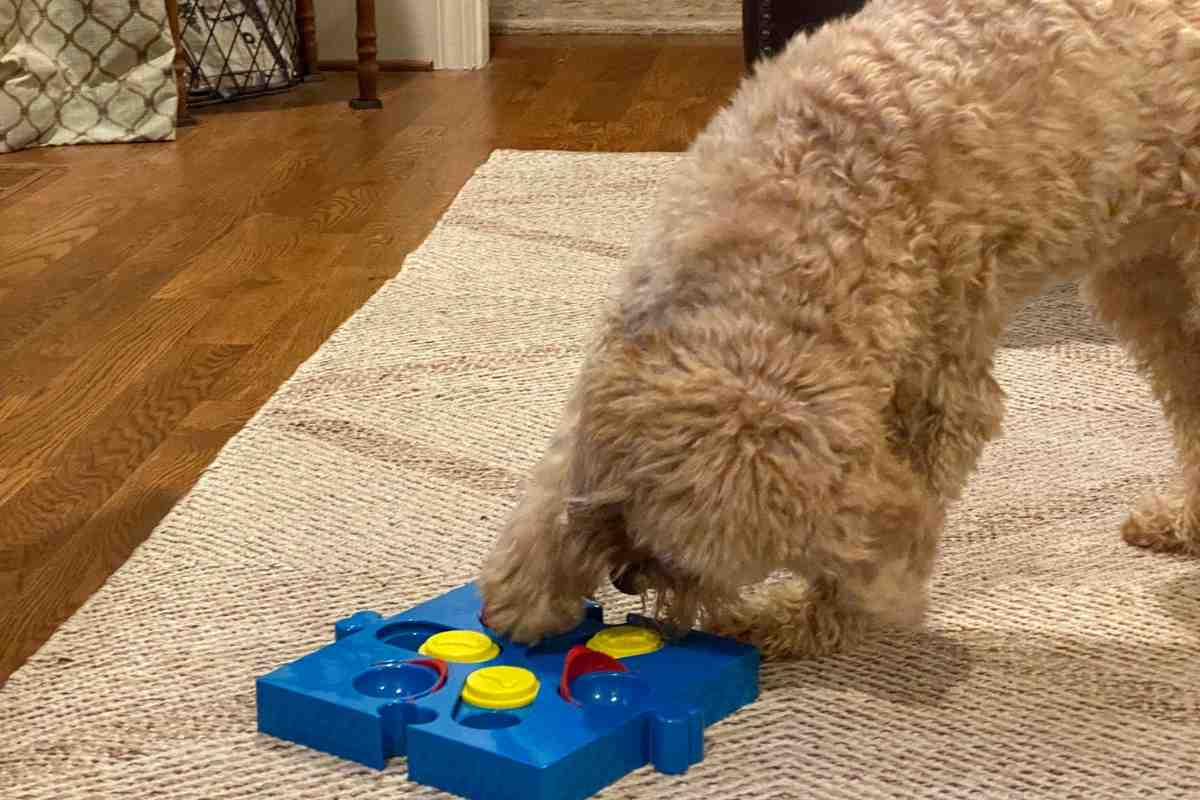 Goldendoodle using a dog puzzle toy!