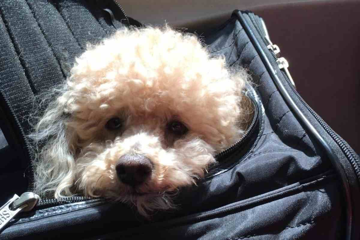 Can You Fly With a Mini Goldendoodle?