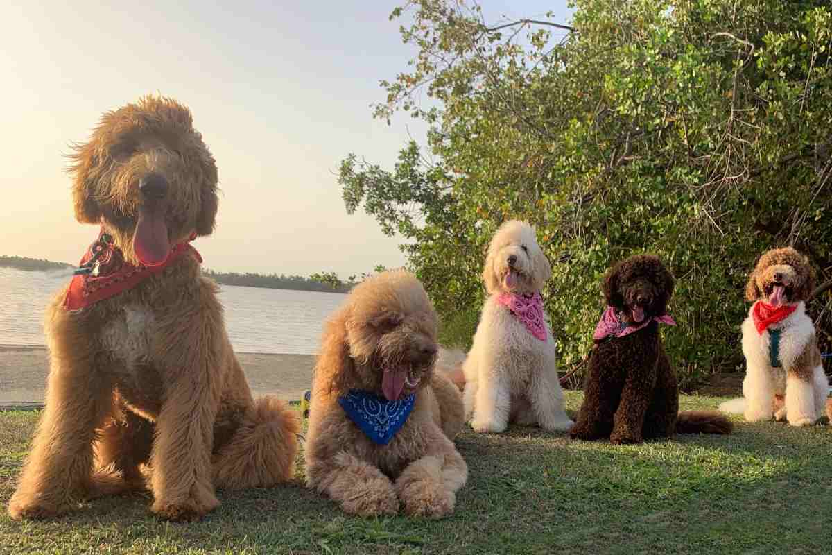 Do Goldendoodles change color_ puppies and minis too