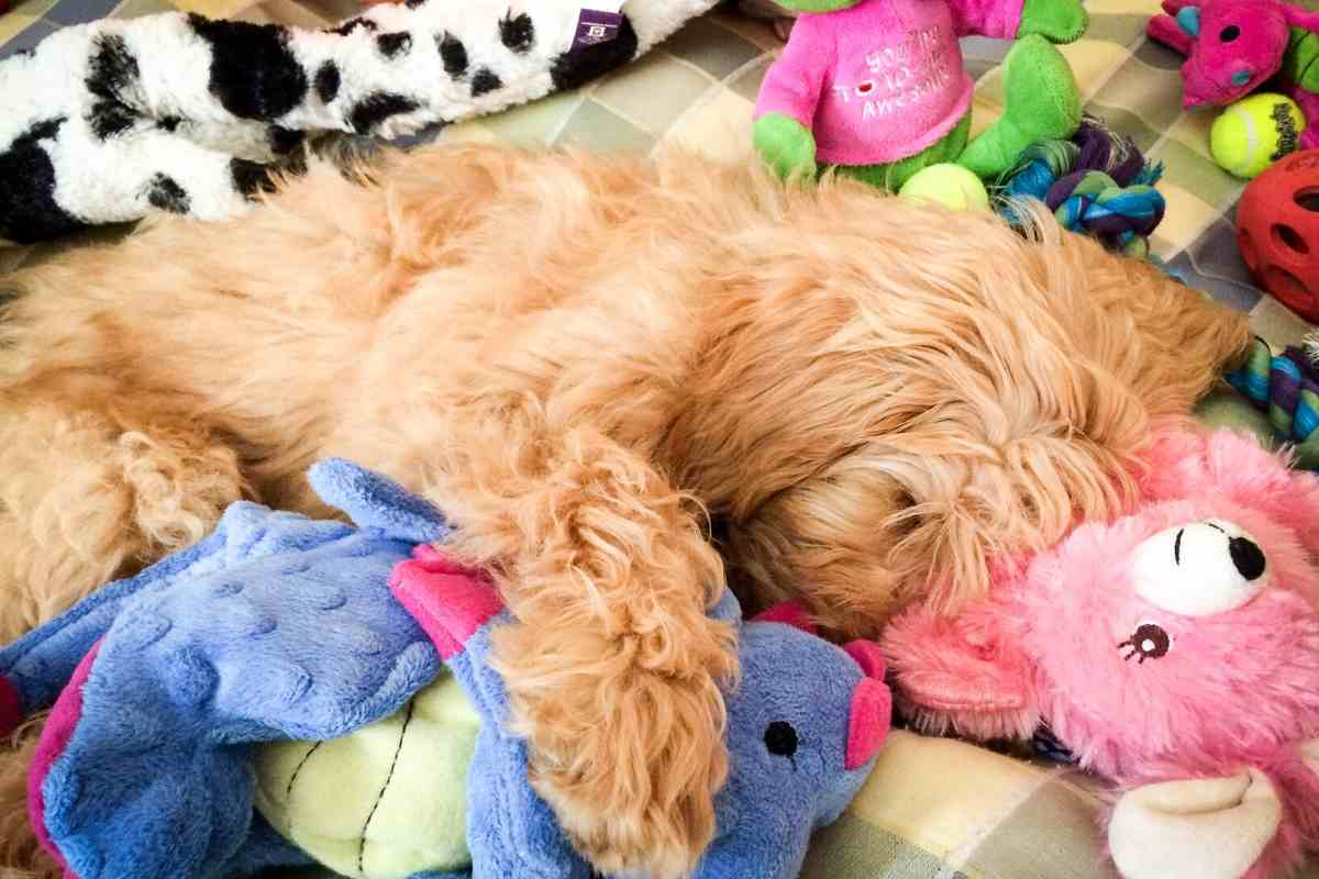 Can a Goldendoodle Be Left Alone?