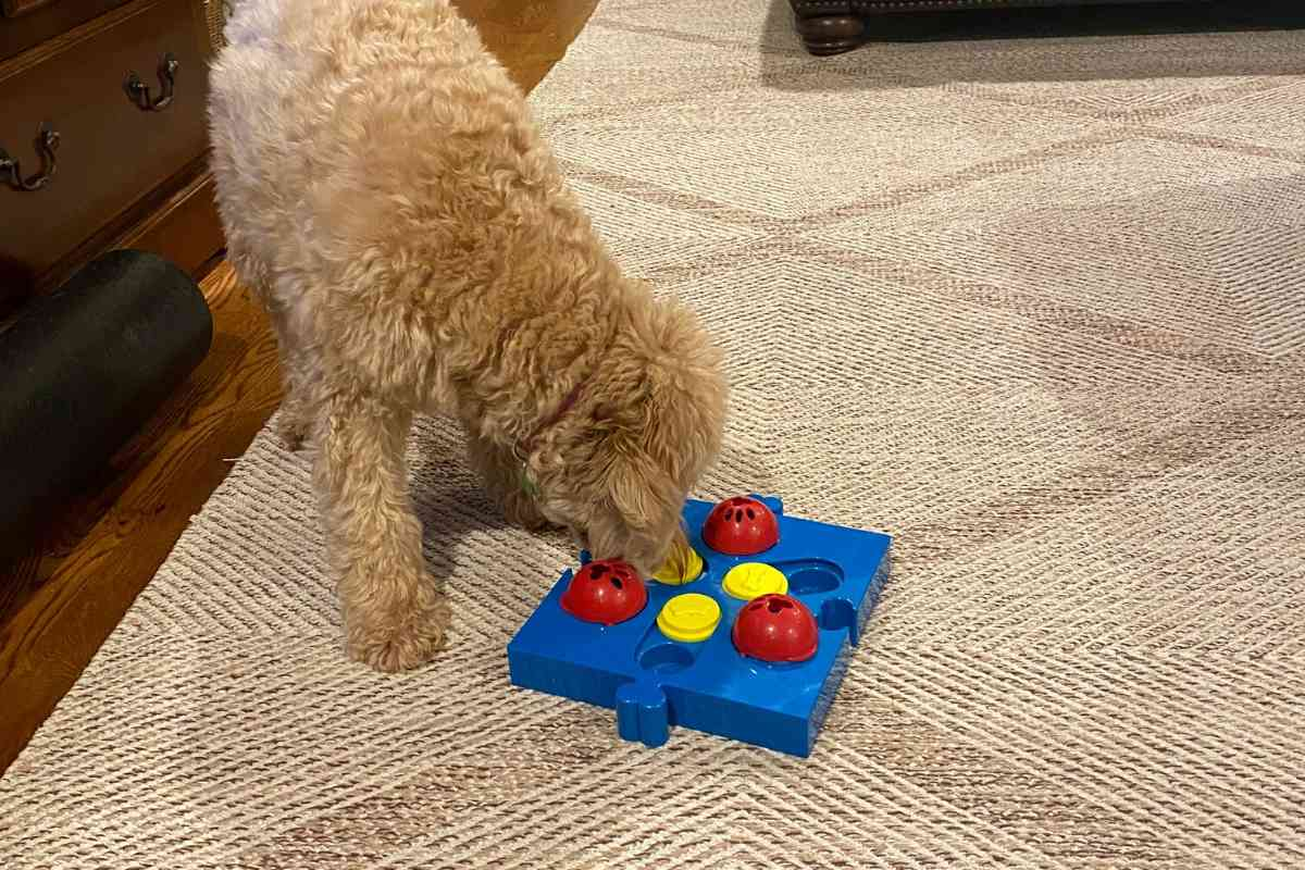 How to Deal With a Goldendoodle Picky Eater