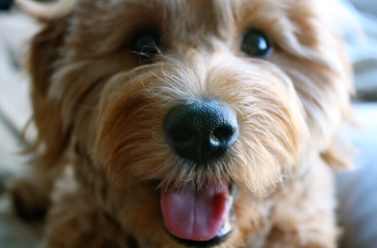 How to Tell If a Goldendoodle Puppy Will Be Curly [3 Steps To Determine The Perfect Hair Type] curly, wavy or straight