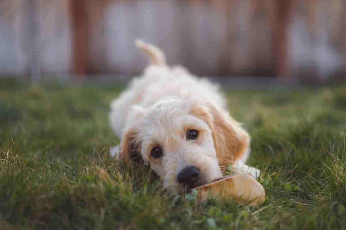 When Do Goldendoodle Puppies Stop Biting and How You Can Stop It!