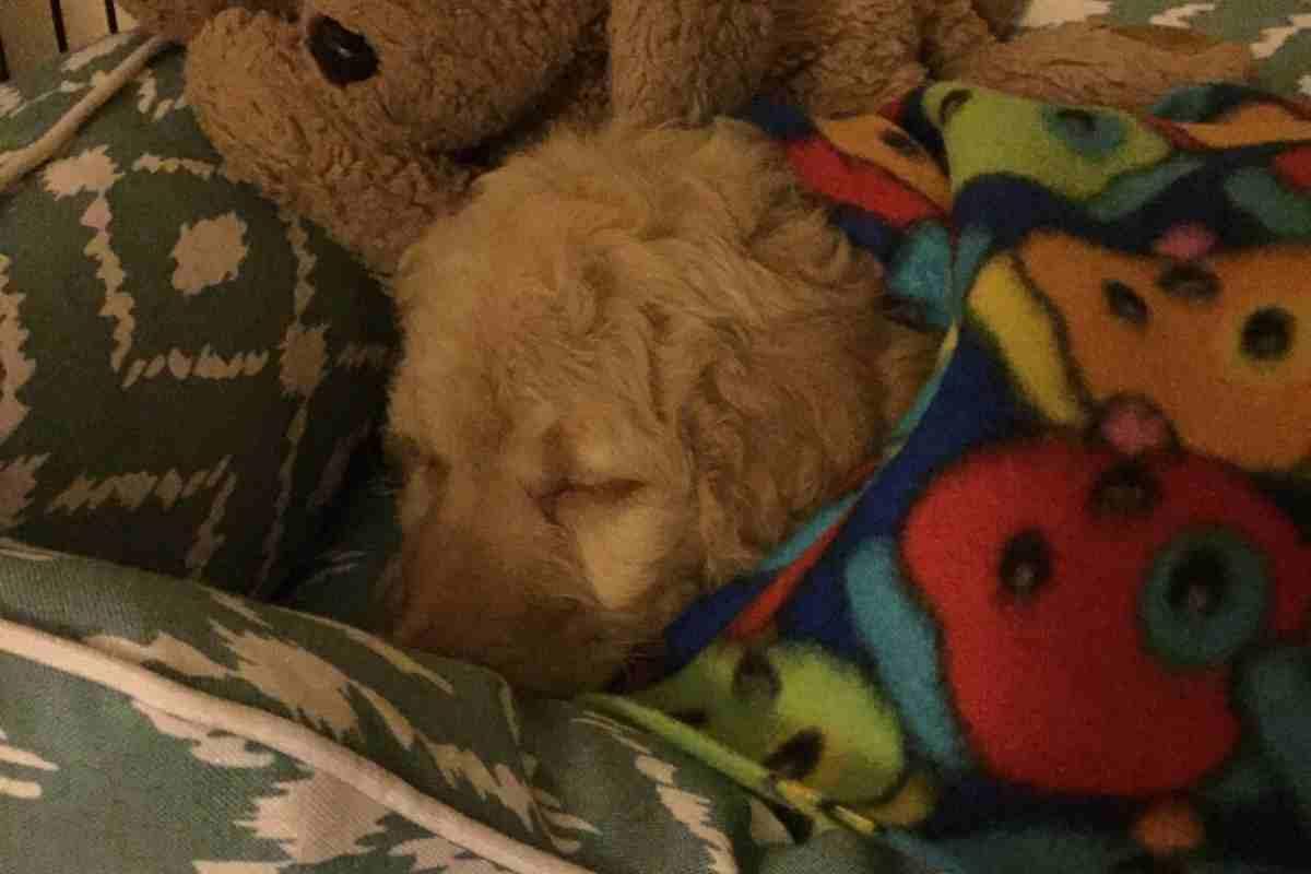 When Do Goldendoodles Sleep Through the Night?