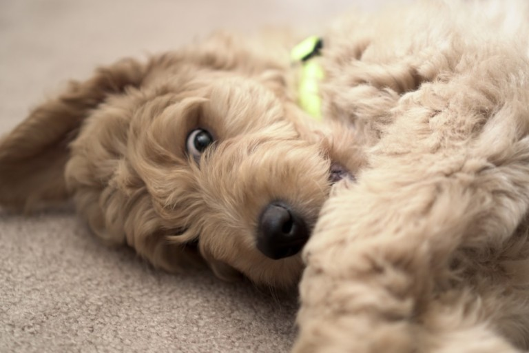 How to Tell If a Goldendoodle Puppy Will Be Curly