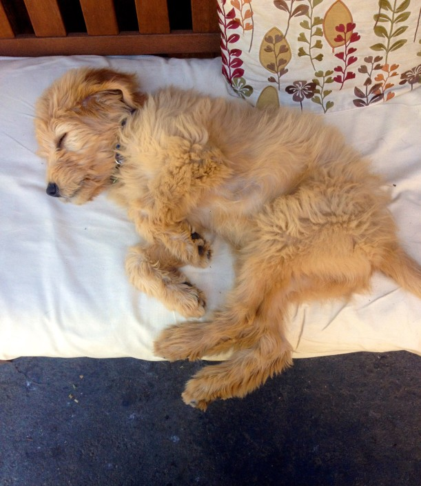 How Much Sleep Does a Goldendoodle Puppy Need? Do They Sleep a Lot?