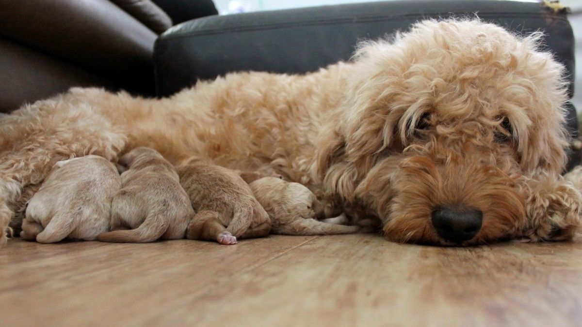Goldendoodles vs. Bernedoodles: What is the Difference