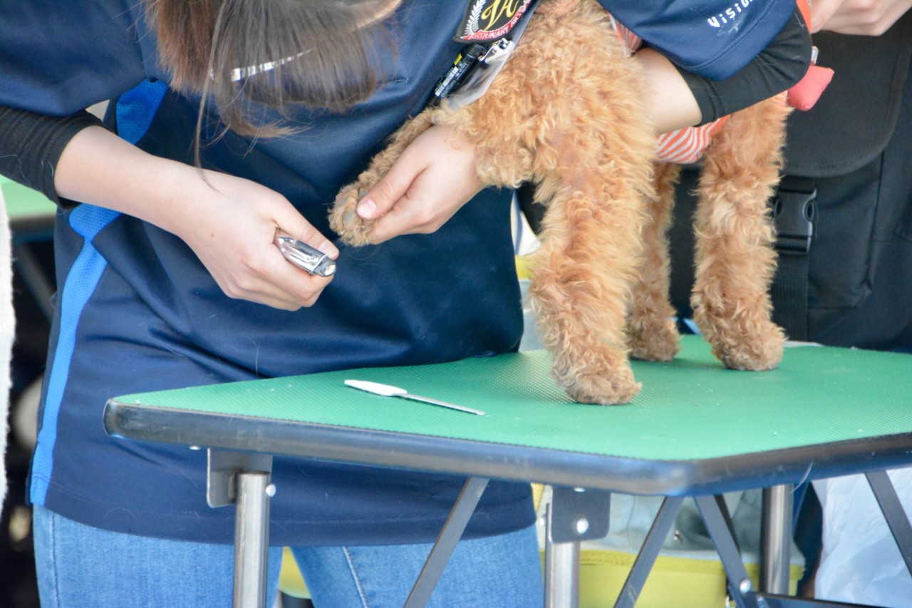 When Do Goldendoodle Puppies Need Their First Haircuts? +5 Tips to A Better Grooming Experience