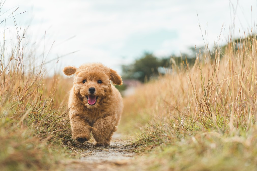 How Long Does It Take to Potty Train a Goldendoodle?