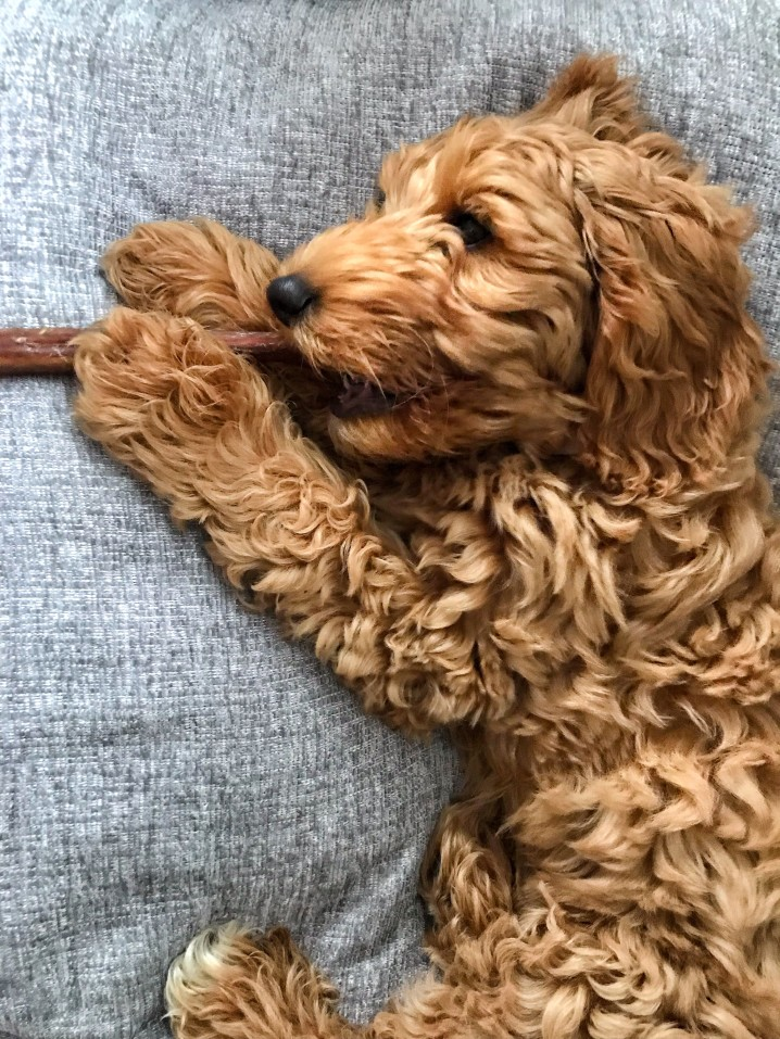 How Do You Stop A Goldendoodle From Eating Everything?