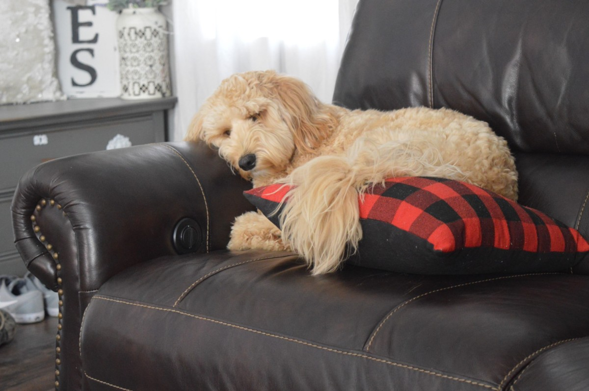 Can Mini Goldendoodles Live in Apartments? A Complete Guide