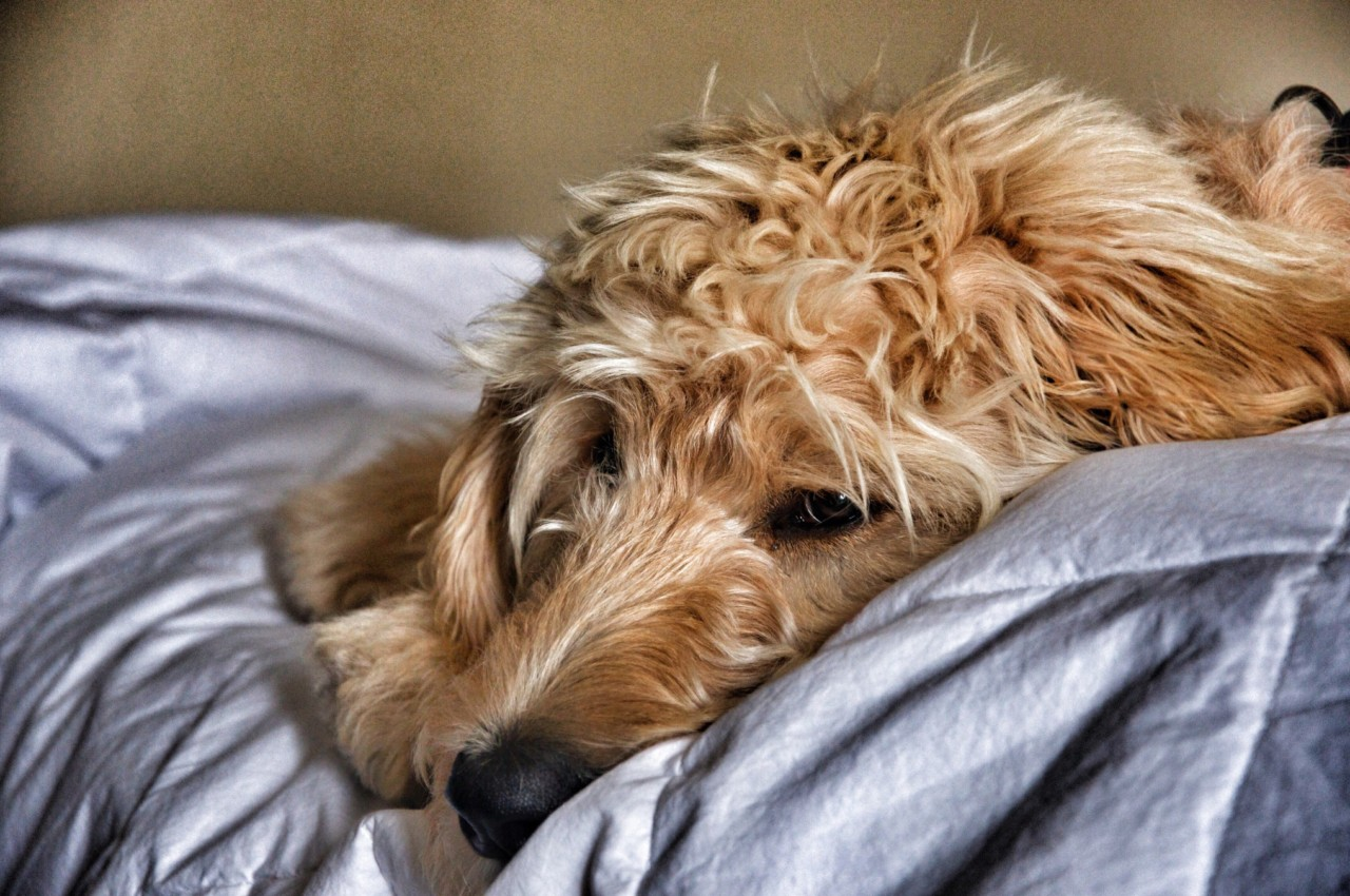 How to Take Care of a Senior Goldendoodle
