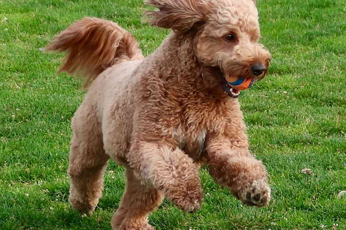 Is Your Mini Goldendoodle BIG? What's Going On?
