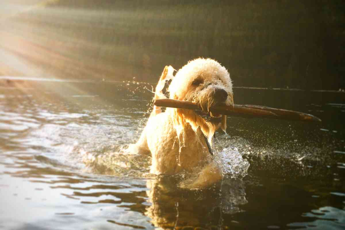 How much Exercise Does Your Adult Goldendoodle Need?