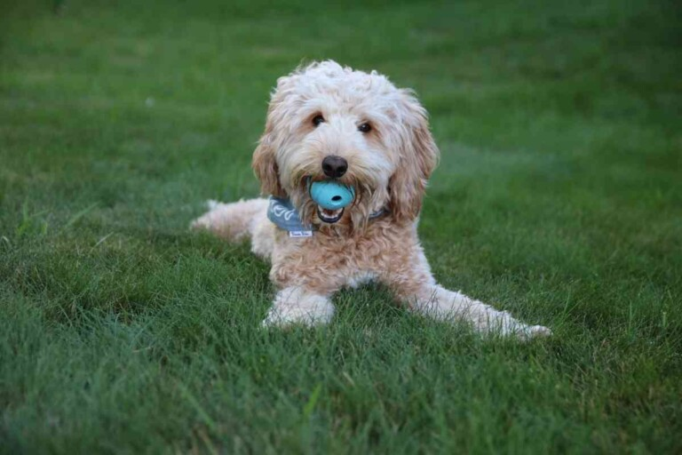 Goldendoodles Exercise: Everything you need to know