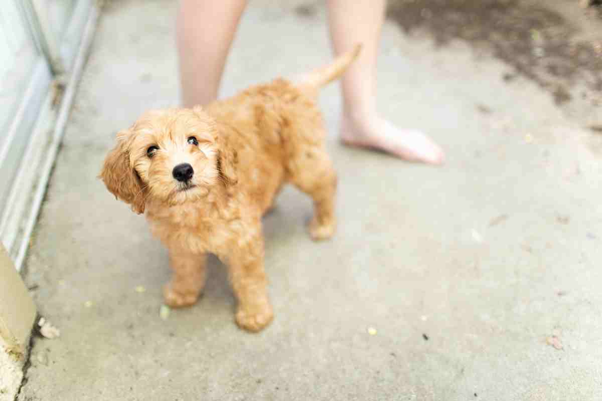What To Look For In A Goldendoodle Puppy 1st Time Owners Guide Goldendoodle Advice