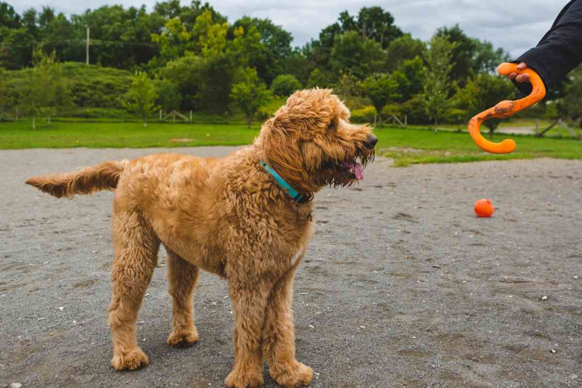 Can Goldendoodles Be Kept Outside?