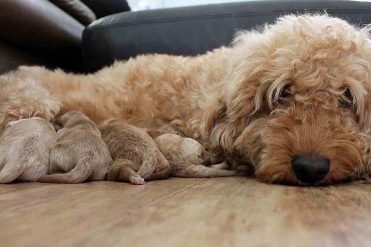 Can You Breed Two Mini Goldendoodles? #dogs #puppies