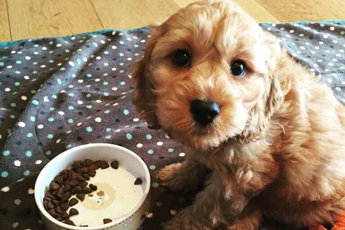 How Much Water Should a Golden-doodle Puppy Drink?