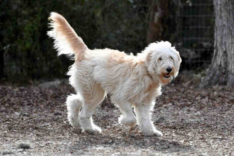 7 Reasons Your Goldendoodle Is Limping and How to Fix It!