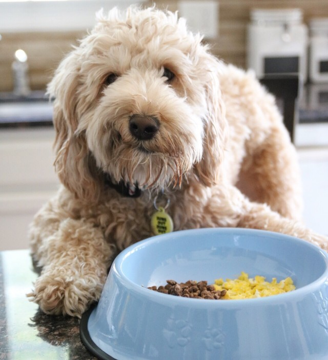 5 Reasons Your Goldendoodle Is Whining and How to Make It Stop!