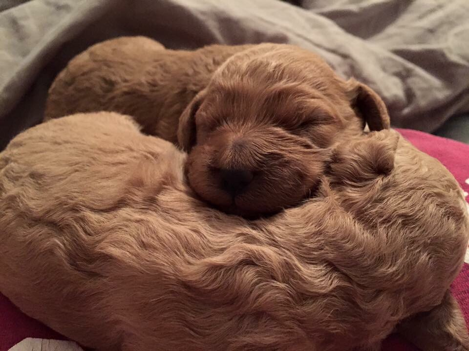 Goldendoodle Growth Stages #dogs #puppies