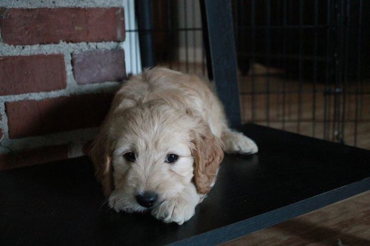 When A Goldendoodle Puppy Is Calm, Do You Need To Worry? #dogs #puppies