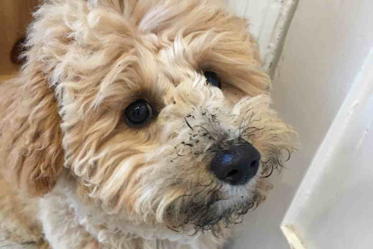 Why Does My Goldendoodle Smell So Bad? How To Keep A Goldendoodle Smelling Good: A Complete Guide