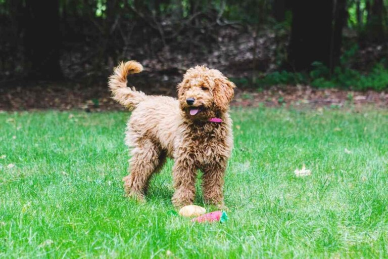 How Often Can You Breed a Goldendoodle?