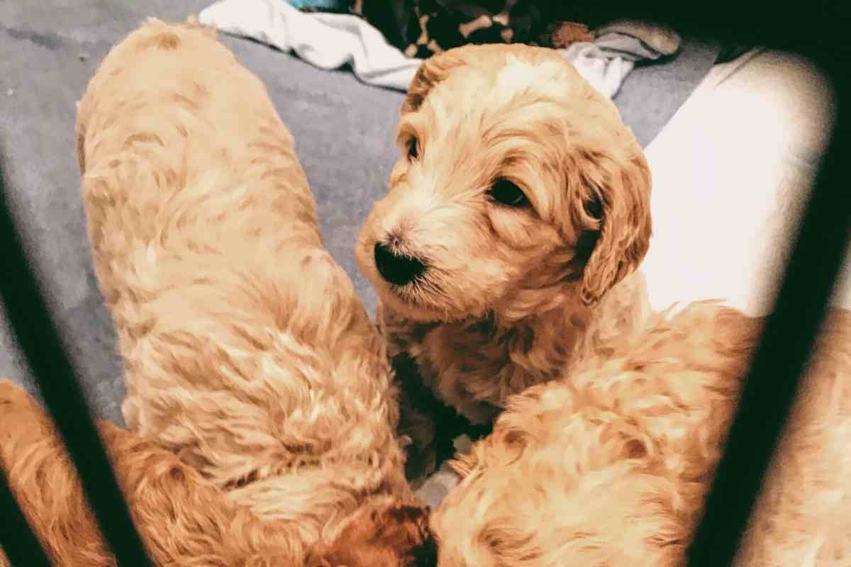 Puppy Checklist ✅| Must Haves To Bring Home Your New Goldendoodle Puppy