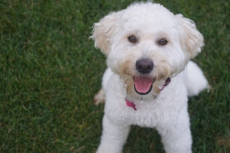 Why Do Goldendoodles Pee When Excited?