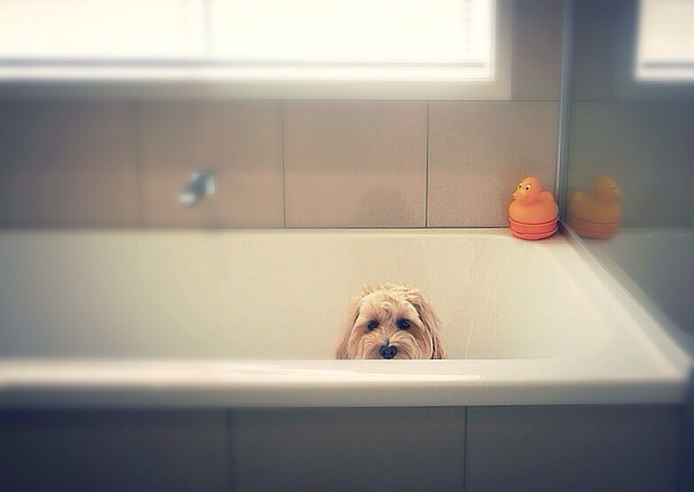 How To Keep A Goldendoodle Smelling Good: A Complete Guide