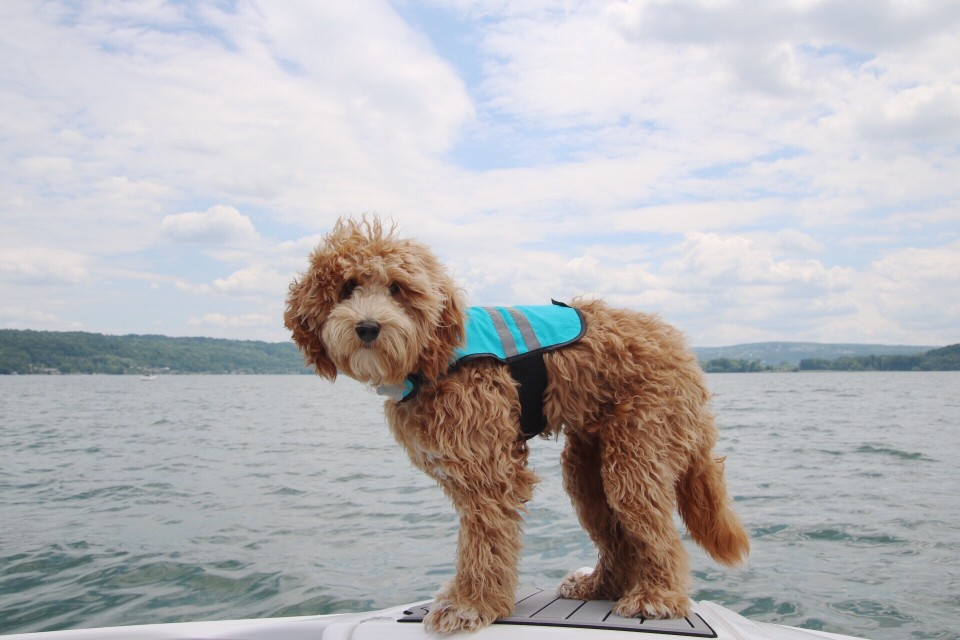 What to Do About Goldendoodle Hair Loss & Bald Spots: Symptoms, Causes, and Diagnosis Suggestions #vet #dog #doodles