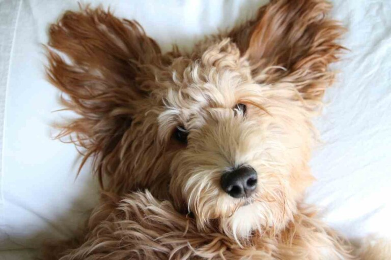 Ear Infections In Goldendoodles: Three Common Problems & Treatments