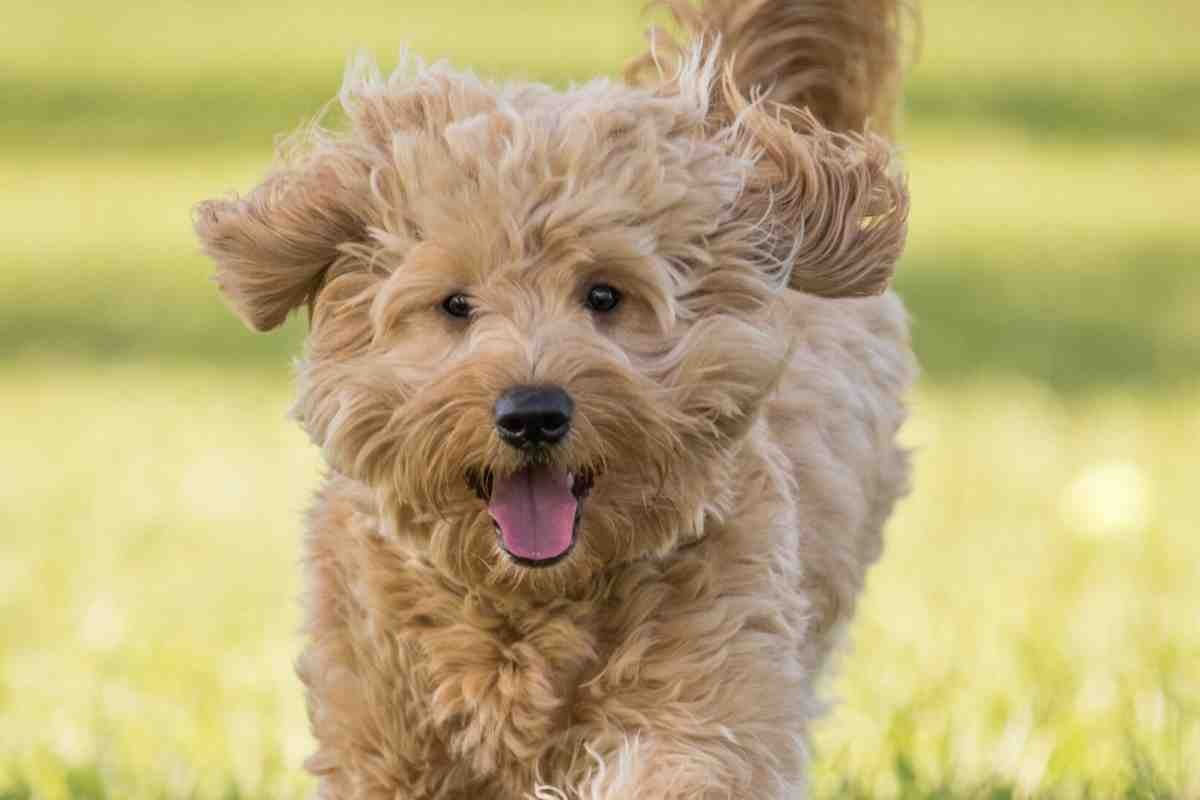 Do Goldendoodles Shed? Are They Hypoallergenic? #Doodles #dogs #puppies #Goldendoodles #minigoldendoodle