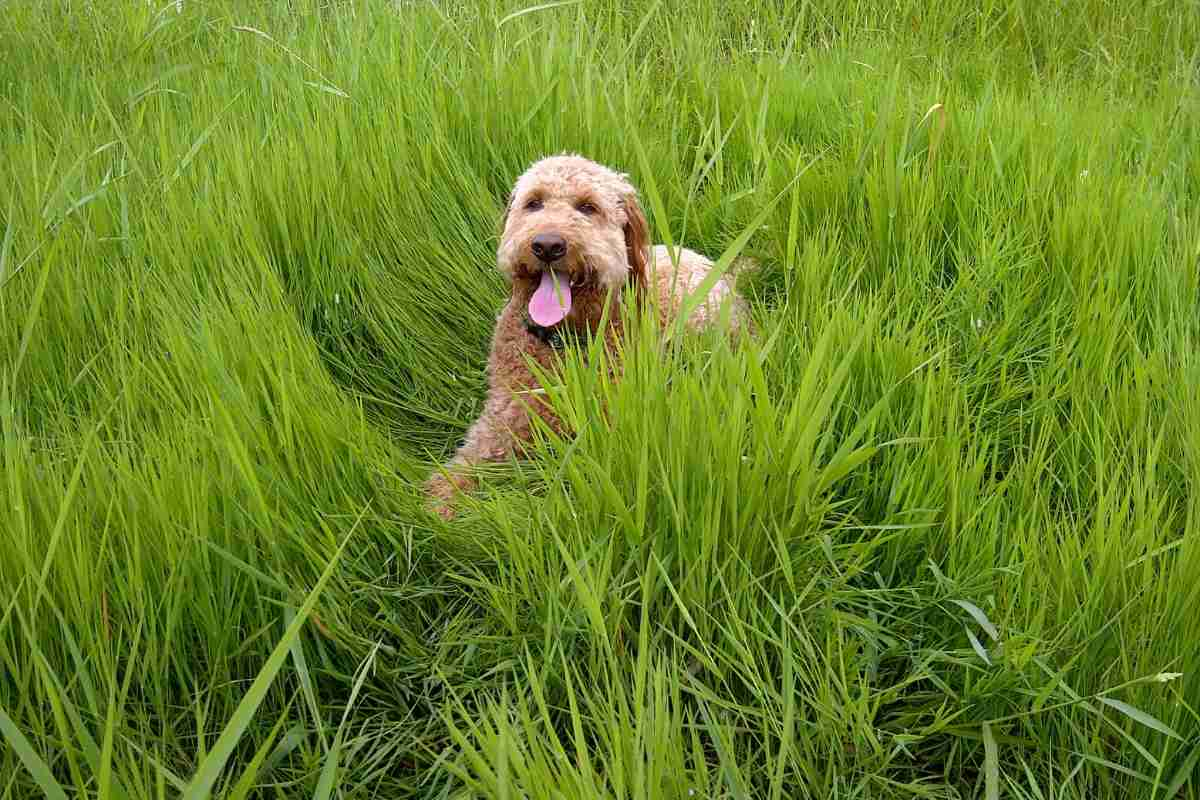 5 Possible reasons why your Goldendoodle may be eating grass