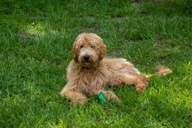 Why Is My Goldendoodle Eating Grass?