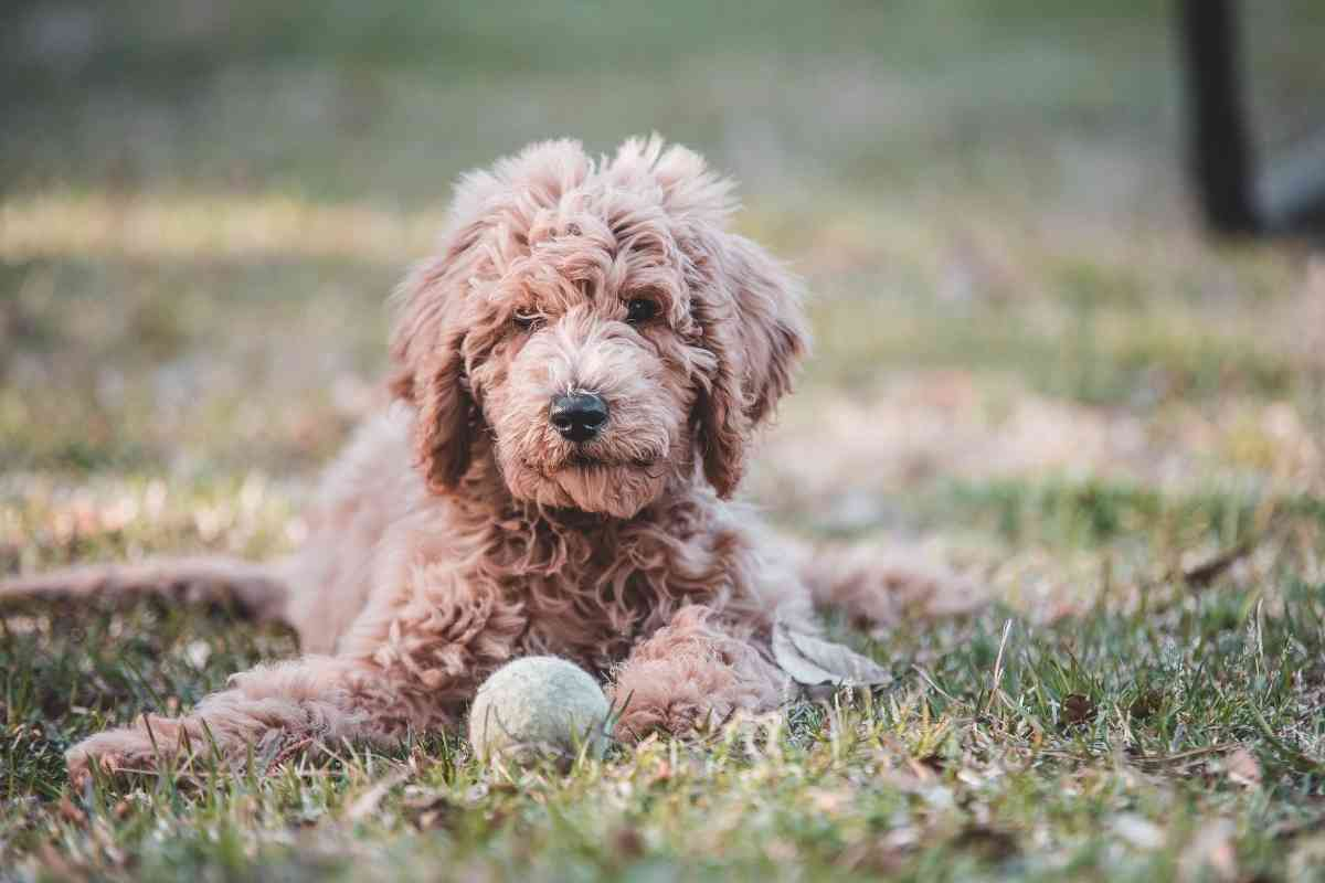 Can You Register A Goldendoodle? #dogs #goldendoodles #akc #pets #puppies #doodle