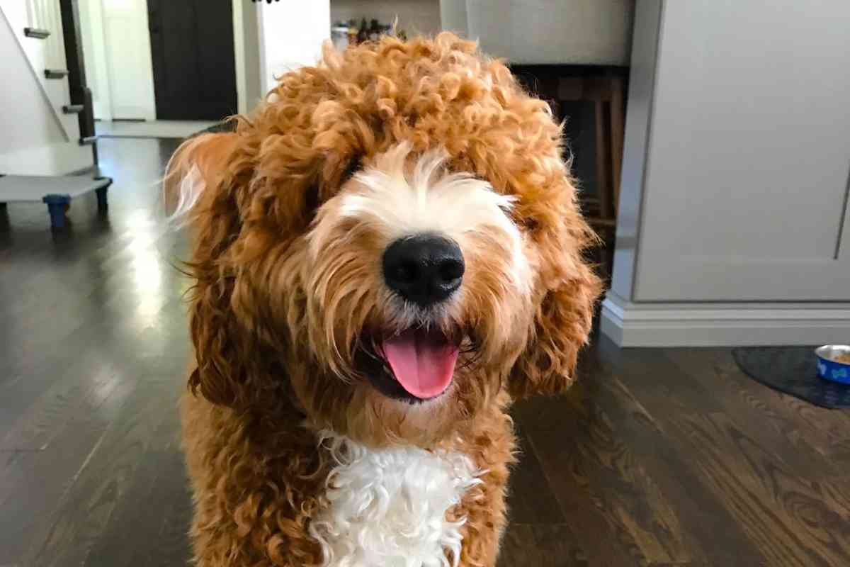 How Long Do Goldendoodles Live? #puppies #dogs #doodles #doods #goldendoodles