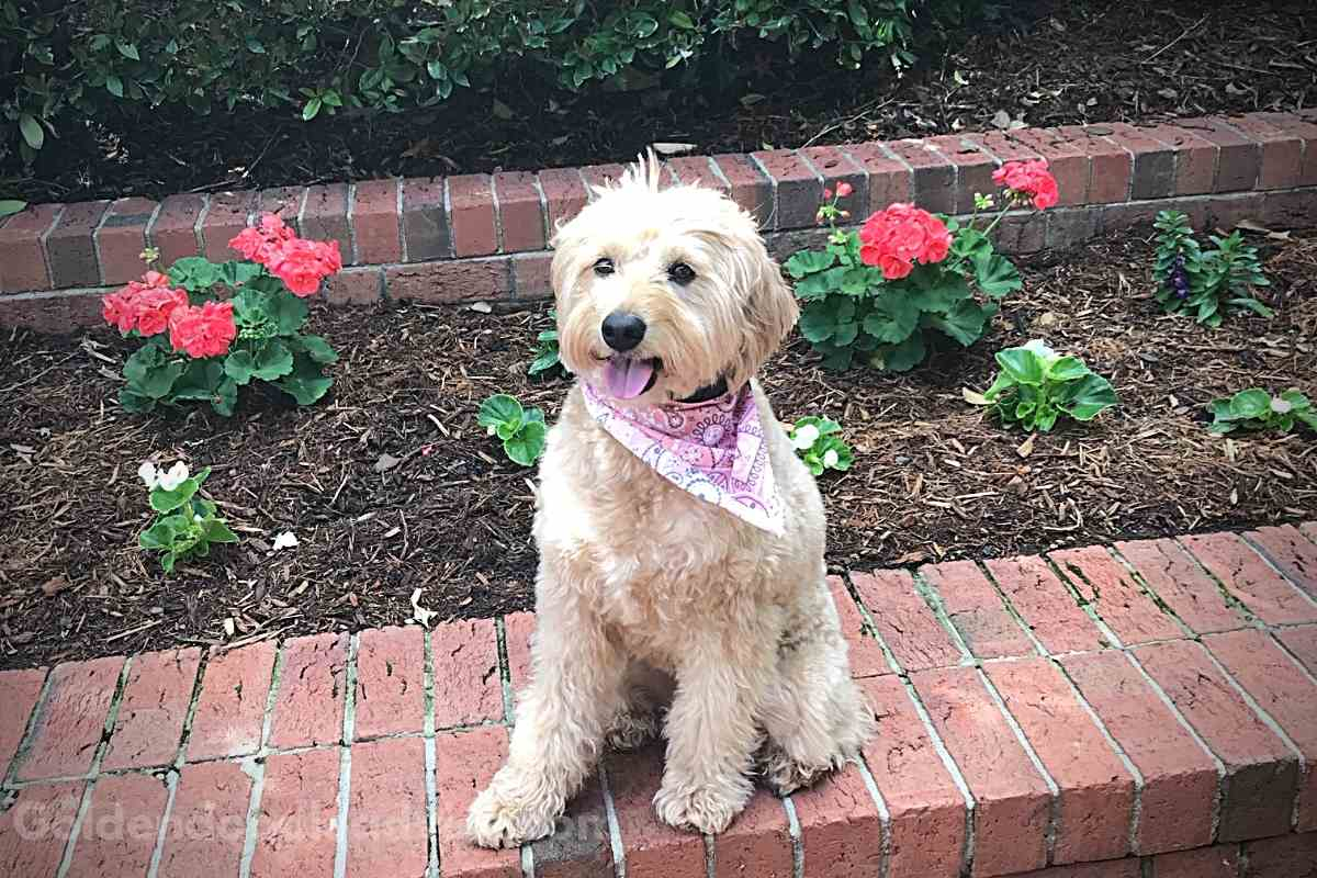 Are Goldendoodles High Maintenance?