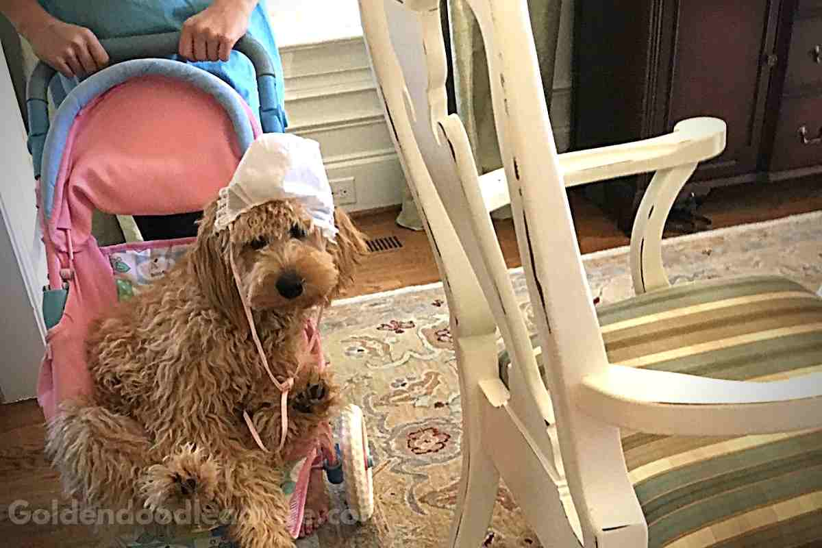 Are Goldendoodles High Maintenace?