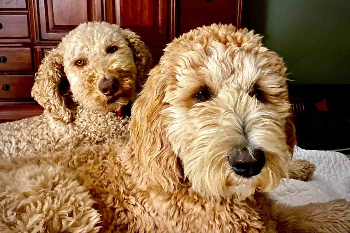 Can You Breed Two F1B Goldendoodles?