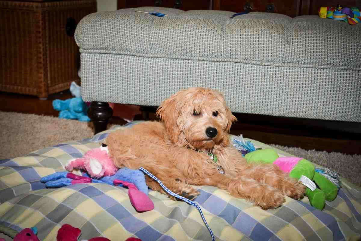Lexie - mini Goldendoodle
