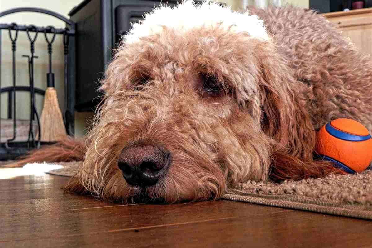 How Long Can Goldendoodles Be Left Alone?