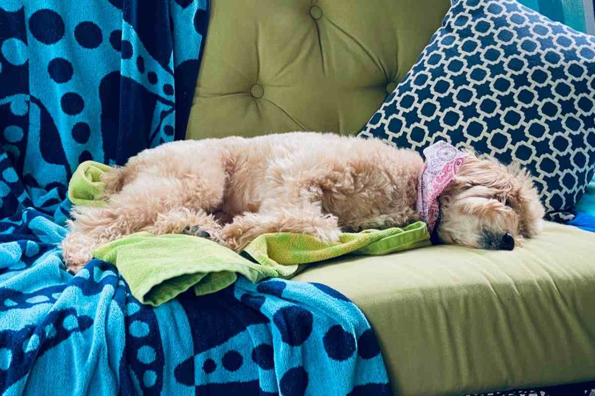 How Long Do Goldendoodles Sleep Per Day? #dogs #puppies #doodles #goldendoodles #dogbreed