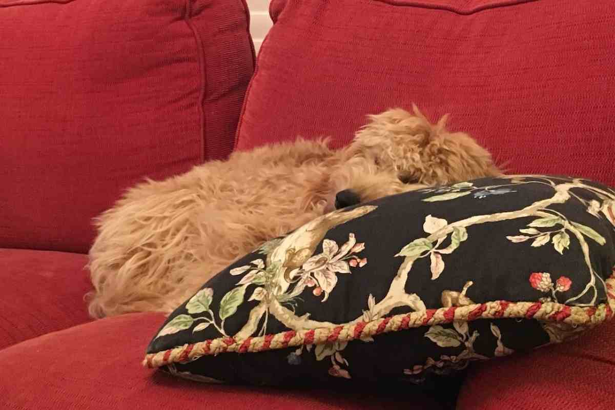 How Long Do Goldendoodles Sleep Per Day? #dogs #puppies #doodles #goldendoodles #dogbreed  The guideline for Goldendoodles is twelve to fourteen hours depending on the dog.  This guideline of time will usually be broken up into little naps or breaks to recharge their batteries before continuing on with their day.